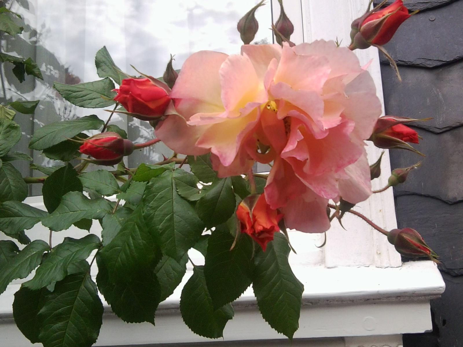 Maji Organics Roses